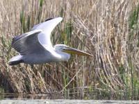 Wiosna z pelikanami