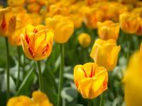 zz_W krainie tulipanów, wiatraków i rowerów