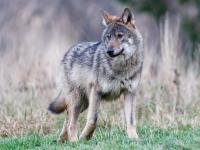 Bieszczadzkie wilki