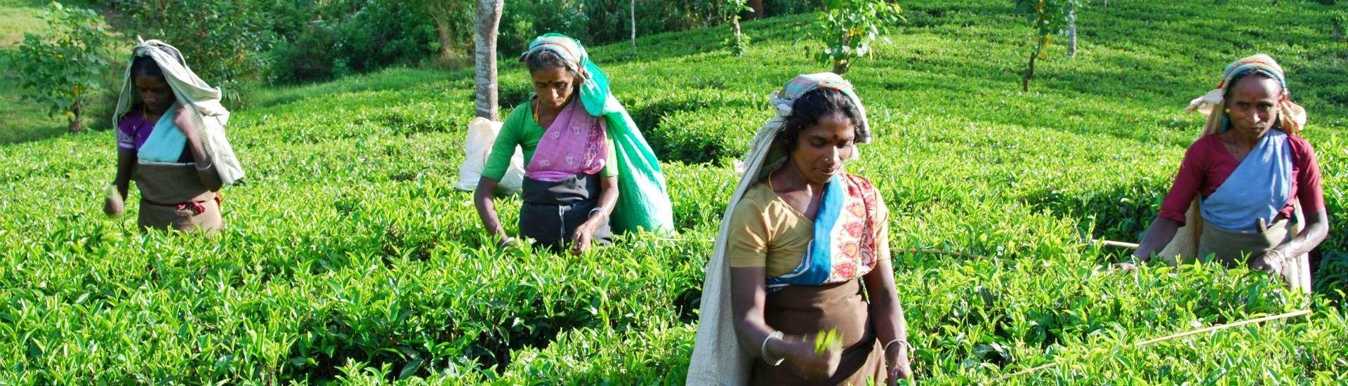 Herbaciane pola Cejlonu