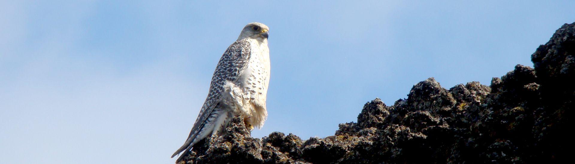Ptaki Islandii