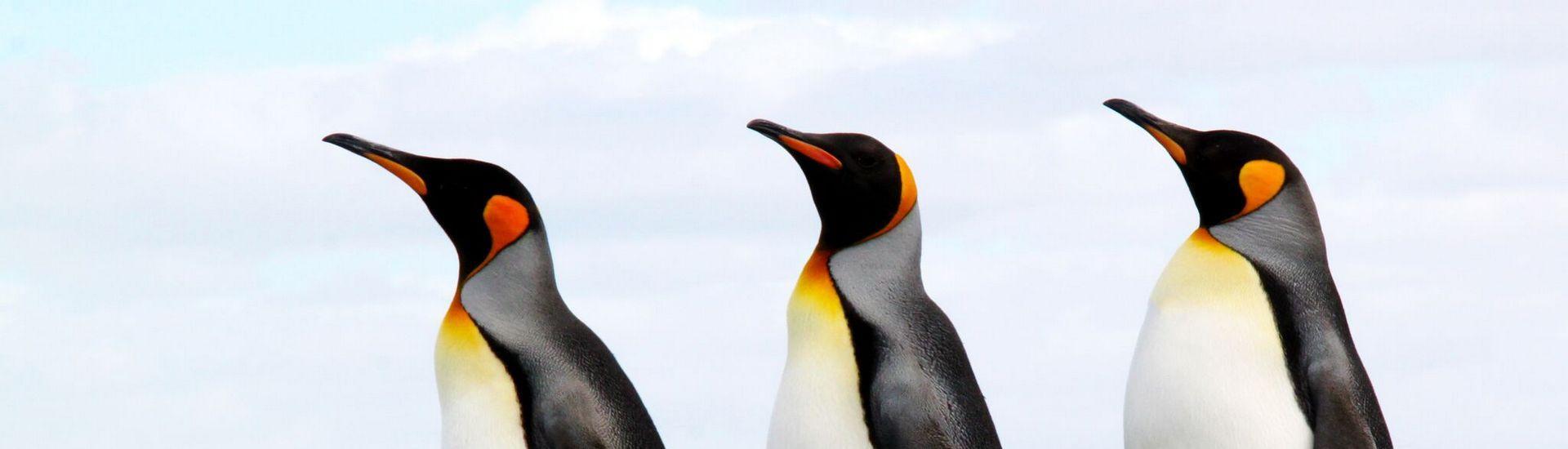 Falklandy - W królestwie pingwinów