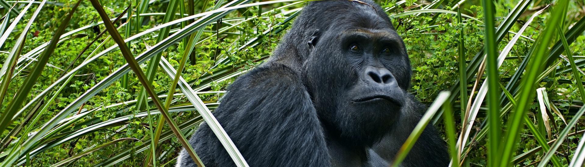 Uganda - nie tylko goryle!
