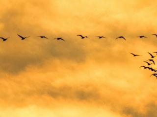 Wielkie migracje żurawi i gęsi